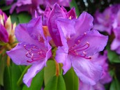 Purple Rhododendrons