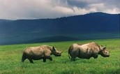 Rhinos in an In-Situ Conservation Area