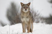This Is A Jackal