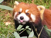 Red Panda sticking it's tongue out