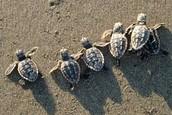 Benefits of Sea Turtles