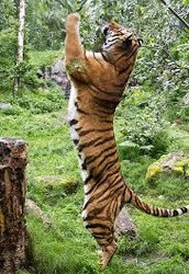 Obviously you realize Amur Tiger eat a lot of STUFF because they are carnivores....