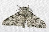 White Bodied Peppered Moth