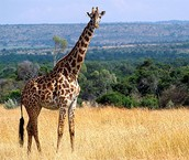 Long Necked Giraffe