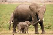 Mother Elephant