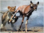 lion chasing prey