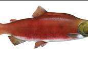 un saumon