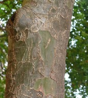 Scaly bark and distinct green color