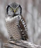 northen hawk owl