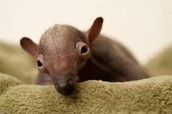 this is a baby anteater the stay on their moms back