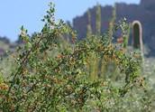 Spiny Hackberry