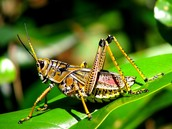 Grasshoppers Background Information