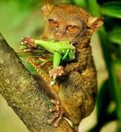 eating tarsier