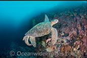 A male green sea turtle