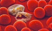 How would your red blood cells?
