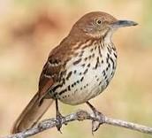 Bird- Brown Thrasher