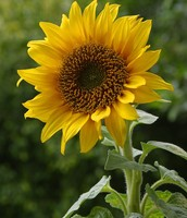 A Sunflower.
