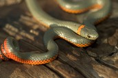 Classification of Big Pine Key Ringneck Snake