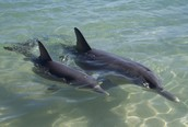 What are the Stages off a baby dolphin?