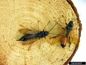 Male and Female Wood Wasp