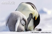 The care and motherly love of baby Penguins