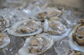 Maryland Oysters