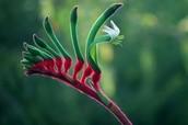 Red & Green Kangaroo Paw