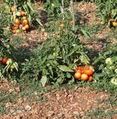 Can I borrow a tomato?