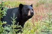 Black bear (da bear)