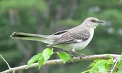 norther mocking bird