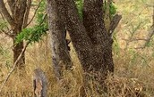 can you find the leopard?