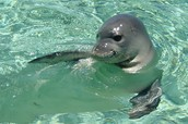 Baby Hawaiian Monk seal