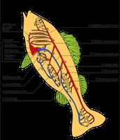 Circulatory Organs Labeled
