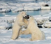 Two Polar Bears play fighting