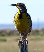 The Western Meadowlark