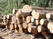 This is a picture of trees that have been cut down by a timber industry.