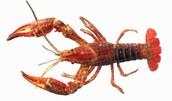 Crayfish (Aquatic)