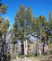 The White Bark Pine