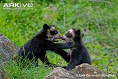 Two Baby Speckled Bears playing