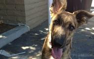 Fisi -- 6 month old Dutch Shepherd -- 40 lbs