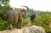 Who or what is helping the Sumatran Elephant?