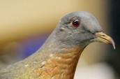 Male Passenger Pigeon