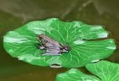 Pond Animal [catfish,frogs]
