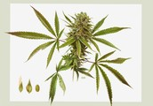 Connecticut Cannabis Business Alliance