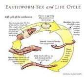 Worm Life Cycle