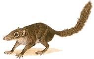 Common tree shrew