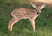 Dewey the Deer