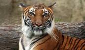 Whisker Nose Tiger