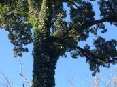 Tree/Ivy