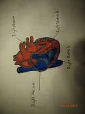What is the circulatory system, and why is it important?